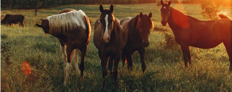 A CBD alkalmazása lovaknál